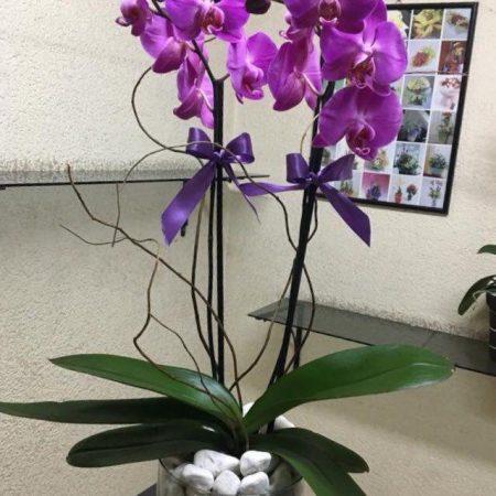 Orquíde doble en Maceta