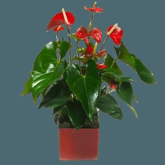 Anturio Rojo